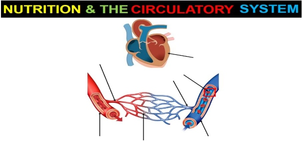 Nutrition and the Circulatory System