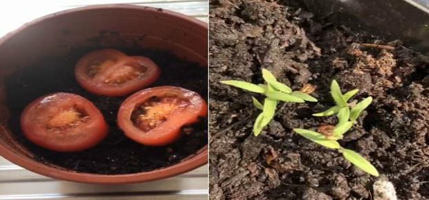 Old tomato, new tomato!