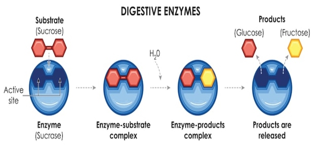Enzyme Importance