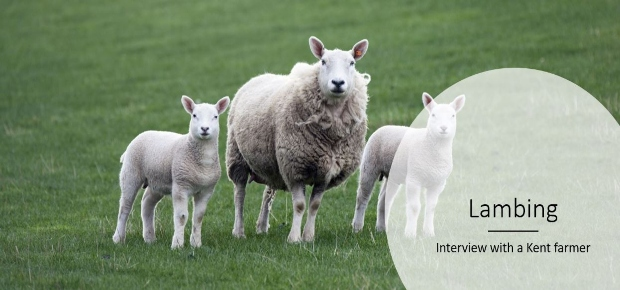 Lambing - Interview with a Kent Farmer